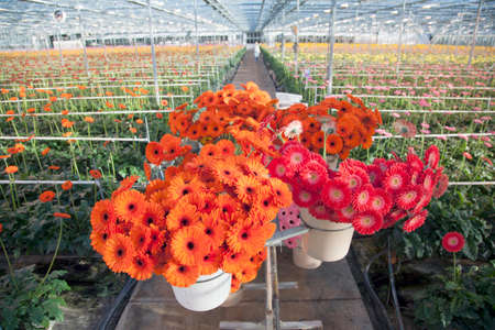 many orange and red gerbera flowers in greenhouse in holland photo
