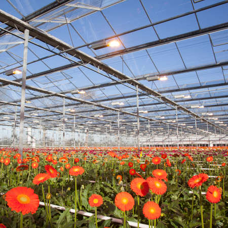 many orange gerbera flowers in greenhouse in holland with blue sky photo