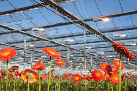 many orange gerbera flowers in greenhouse in holland