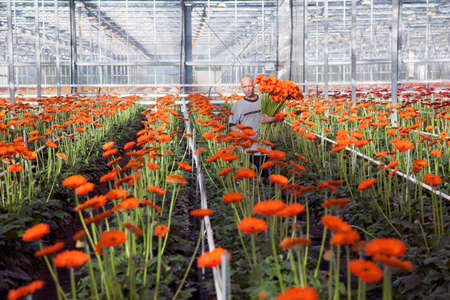 man collects flowers in professional greenhouse in holland