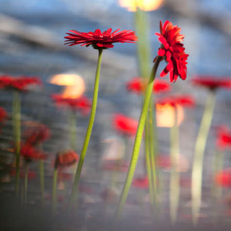 red gerbera flowers with other flowers and blue sky in background photo