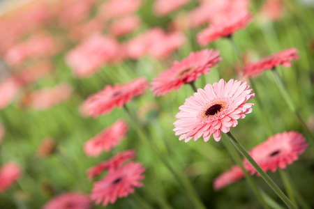 picture of pink gerbera flowers in diagonal photo
