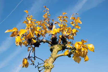 arbre fruitier: feuillage jaune sur l'arbre de fruits � l'automne hollandais et le ciel bleu