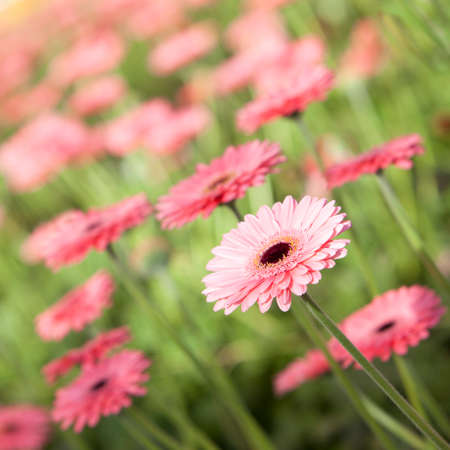 square picture of pink gerbera flowers in diagonal photo