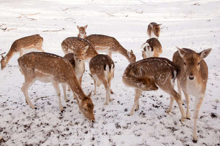 ruminants: female fallow deer and group of young deer in the snow of a park in the netherlands Stock Photo