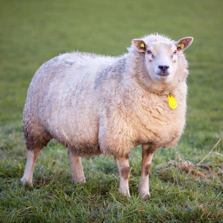 woolly: adult woolly sheep stands in green meadow and looks