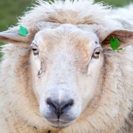 woolly: closeup of adult woolly sheep in green meadow Stock Photo