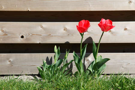 wood fence: Red tulips in grass near wooden garden fence