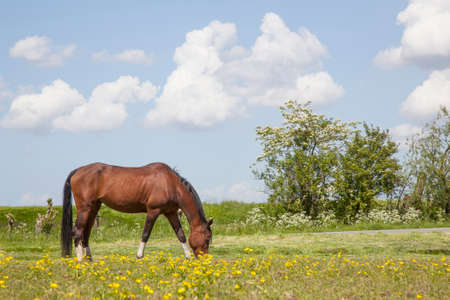 Brown horse grazes in meadow full of yellow flowers in holland in spring
