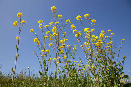 Closeup of yellow flowers of rapeseed and blue sky