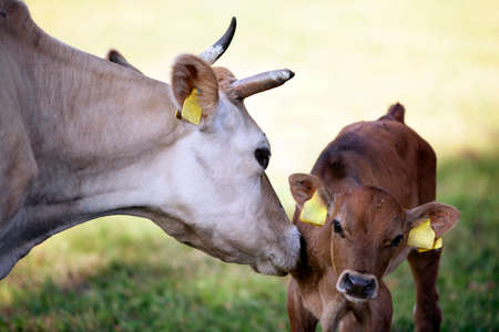 mother cow licks brown calf in meadow Imagens
