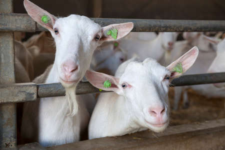 two curious white goats stick their heads through bars of stable