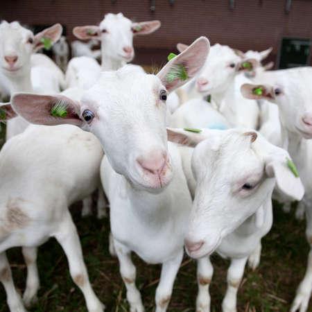 cabra: manada de cabras blancas curiosas fuera de la granja en holanda
