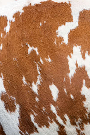 side of cow with reddish brown pattern on white hide