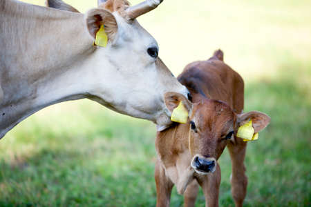 mother cow licks brown calf in sunny meadow 스톡 콘텐츠