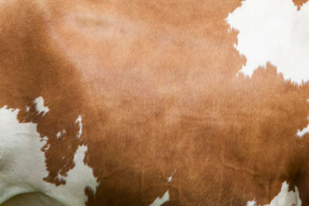 cow hide: side of cow with white pattern on reddish brown hide