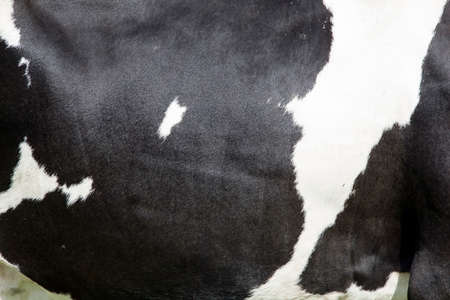 cows: side of cow with large black spots on white hide