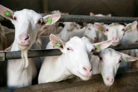 three curious white goats stick their heads through bars of stable Stock Photo