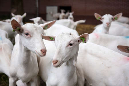 goat: herd of curious white goats outside farm in holland Stock Photo
