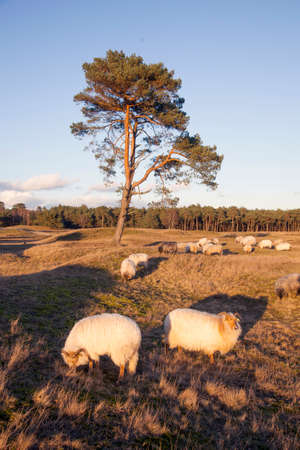 flock of sheep on the moor near Zeist and utrecht in the netherlands Stock Photo