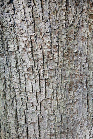 tilia: abstract pattern of bark on tilia cordata or small leaved linden