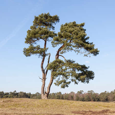 solitary pine tree stands alone against blue sky with forest in the background