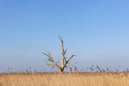 eempolder: dead tree above yellow reed against blue sky in eempolder in the netherlands Stock Photo