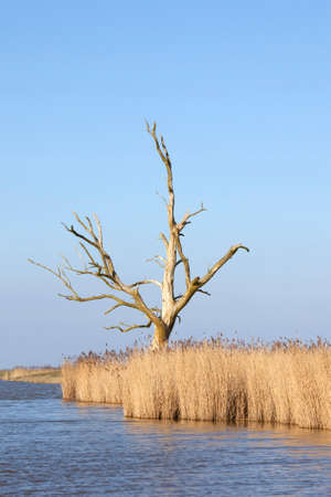 dead tree above yellow reed against blue sky in eempolder in the netherlands Stock Photo