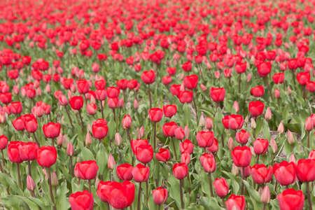 flower nursery: many red tulips in flower field in holland at flower nursery Stock Photo
