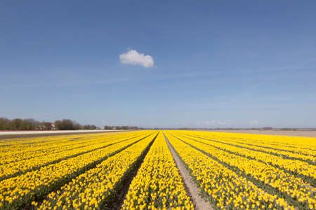 flevoland: field of yellow tulips with blue sky and cloud in the dutch province of flevoland