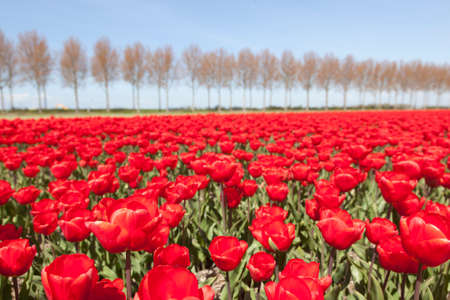 flevoland: vivid red tulips in dutch noordoostpolder in the province of flevoland flower field with trees and blue sky in the background
