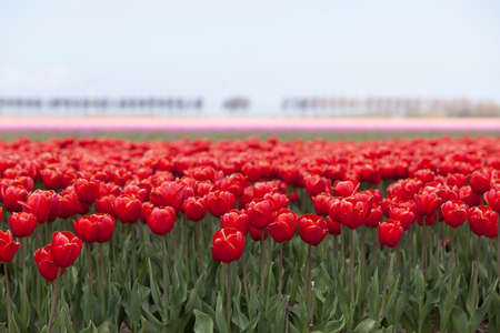 holland landscape: vibrant red tulips with pink flowers in the background on dutch tulip flower landscape in holland Stock Photo