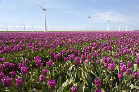 flevoland: purple tulip field in the foreground and wind turbines against blue sky in flevoland province of the netherlands