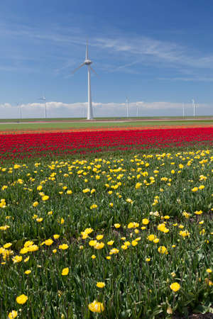 flevoland: wind turbines against blue sky and red yellow tulip field in noordoostpolder flevoland in the netherlands Stock Photo