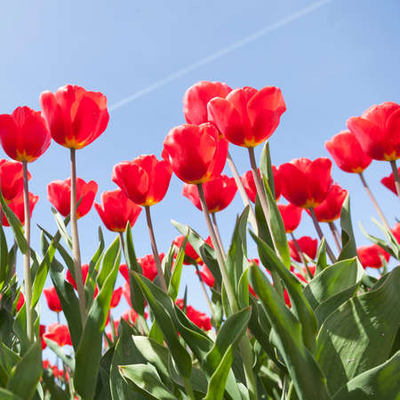 holland landscape: closeup of red tulips and blue sky on dutch tulip flower landscape in holland Stock Photo