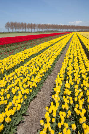 flevoland: red and yellow tulips in dutch landscape with trees in noordoostpolder in the province of flevoland Stock Photo