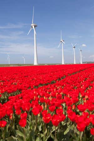flevoland: wind turbines against blue sky and red tulip field in noordoostpolder flevoland in the netherlands Stock Photo