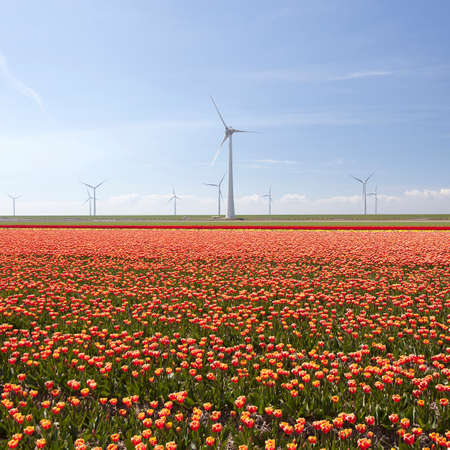 flevoland: red and yellow tulips in dutch landscape with trees in noordoostpolder in the province of flevoland with wind turbines and blue sky