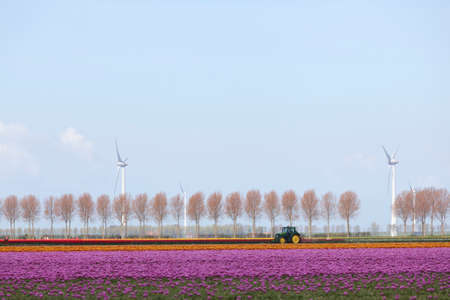 flevoland: pink tulip landscape with trees and wind turbine in the dutch province of flevoland in the netherlands