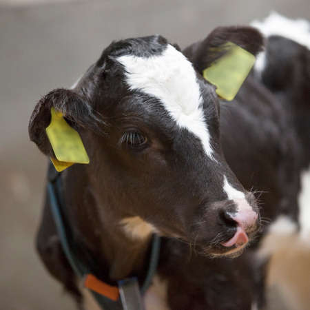 black and white calf stands in straw of barn Stock Photo
