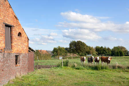 cows red barn: barn and cows in flanders meadow between gent and brugge in belgium on cloudy summer day Stock Photo