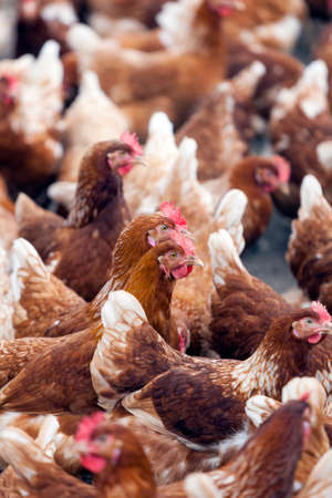 many brown chicken outside poultry farm in the netherlands near utrecht Stock Photo