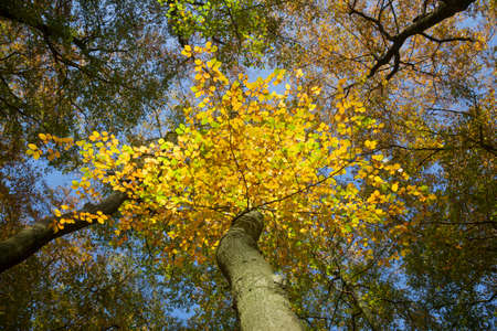 yellow autumn beech leaves and bright blue sky during fall in forest