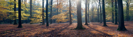 austerlitz: panorama of autumn leaves and beech trees in the fall near austerlitz in the province of utrecht Stock Photo