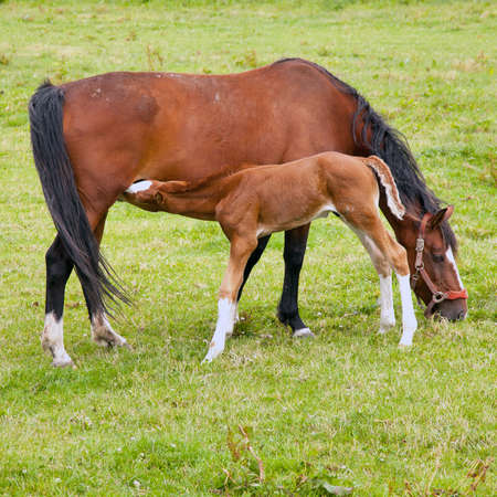 caballo bebe: brown foal drinks from grazing mare in green grassy meadow