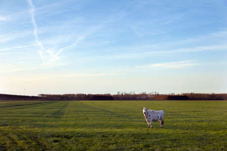 polder: cow in meadow of polder purmer near purmerend north of amsterdam in the netherlands Stock Photo