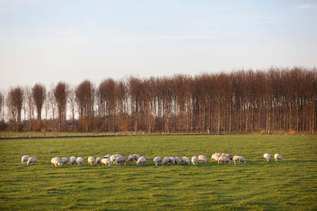 polder: sheep in meadow of polder purmer near purmerend north of amsterdam in the netherlands