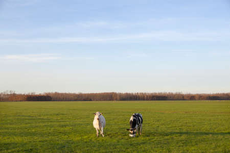polder: two cows in meadow of polder purmer near purmerend north of amsterdam in the netherlands Stock Photo