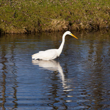 great white egret wades and fishes in dutch canal in warm sunlight