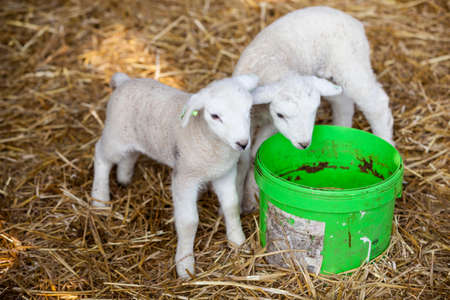 two newborn lambs on straw with green water bucket on organic farm in the netherlands Stock Photo